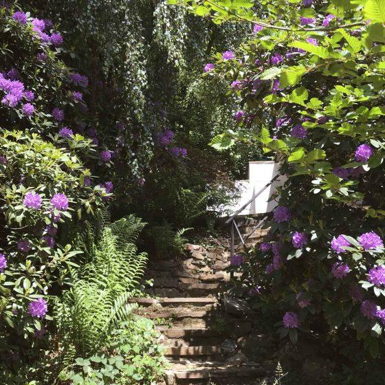 Der lila blühende Rhododendron an der Treppe zum Ferienhaus.